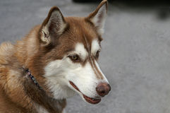 Profile of A Brown and White Huskey Stock Image