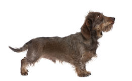 Profile of a Brown Wire-haired dachshund stock photography