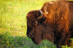 Profile of a Buffalo Stock Images