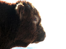 Profile of a Bull. Side profile of the face of a brown bull against a white background stock images