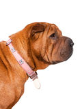 Profile of a Bull Mastiff dog Stock Photos