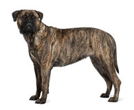 Profile of Bullmastiff dog, standing. Bullmastiff dog, 1 year old, standing in front of white background royalty free stock images