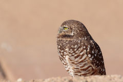 Profile of a Burrowing Owl. Left side profile portrait of a Burrowing Owl Stock Image