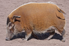Profile of bushpig Royalty Free Stock Photos