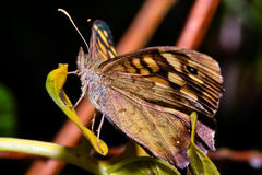 Profile of a butterfly Stock Photo