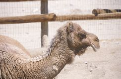 Profile of camel Royalty Free Stock Images