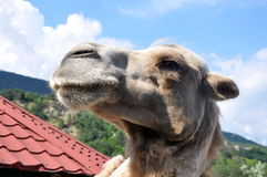 Profile of a camel Stock Images