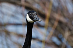 Profile of Canada Goose Stock Photo