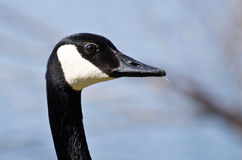 Profile of Canada Goose Royalty Free Stock Photos