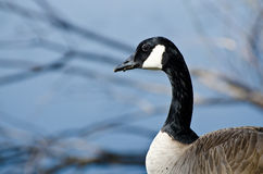 Profile of Canada Goose Royalty Free Stock Photography