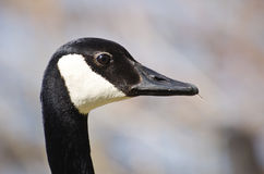 Profile of Canada Goose Stock Image