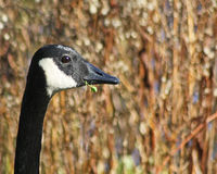 Profile of the Canada Goose with its distinctive long neck and black and white markings holding grass in its beak Stock Photography