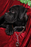 Profile of cane corso puppy Stock Photography