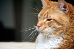 Profile of cat Royalty Free Stock Photography