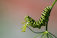 Profile of a caterpillar of the Old World Swallowtail (Papilio m. A profile of the caterpillar of the Old World Swallowtail (Papilio machaon) who likes the dill royalty free stock images