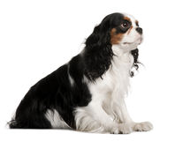 Profile of Cavalier King Charles Spaniel, sitting Royalty Free Stock Image