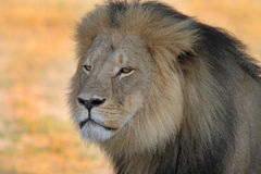 Profile of Cecil the iconic Hwange Lion Royalty Free Stock Photo