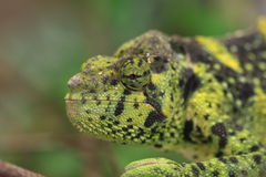 Profile of chameleon. Closeup profile of the head of a green chameleon.  Family:  Chamaeleonidae Royalty Free Stock Image