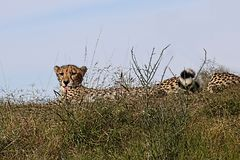 Profile of a cheetah resting in the tall grass Royalty Free Stock Images