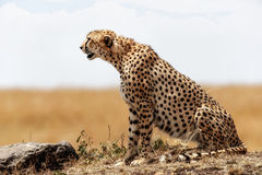 Profile of Cheetah Sitting in Kenya Africa Stock Photography