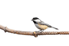 Profile of a chickadee perched on pine branch. White background royalty free stock photo