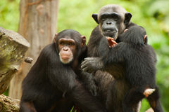 Profile of a chimpanzee family Royalty Free Stock Images