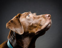Profile of a chocolate lab Stock Photography