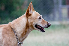 Profile close up of dingo crossbreed dog. Close up profile of an Australian dingo crossbreed domestic dog Stock Photography