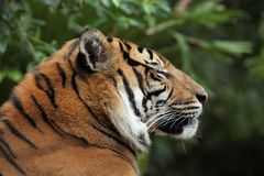 Profile close up of majestic tiger`s face royalty free stock image