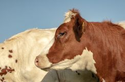 Profile close up of a young red and white cow, with cowlick, and a blue background. royalty free stock photo