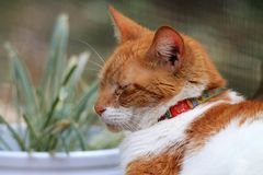 Orange and white domestic shorthaired cat portrait Stock Image