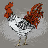 Profile of cock sketch Stock Images