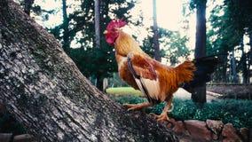 Cockerel ascending tree trunk in super slow motion. Profile of cockerel ascending tree trunk in super slow motion stock video