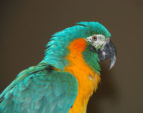 Profile of colorful Macaw. Profile of colorful green and orange Macaw Stock Image