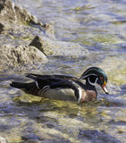 Profile of colorful wood duck swimming in shallow clear rocky wa. Ter, sunlight on spring environment Royalty Free Stock Image