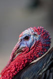 Profile of the colorfully head of a turkey. In the nature Royalty Free Stock Photos