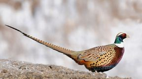 Profile of Common Pheasant Stock Images