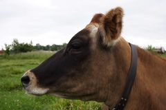 Profile of Cow. Cow laying field Stock Images