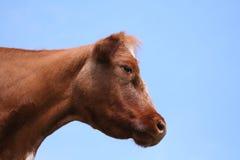 Profile of cow head Stock Photo