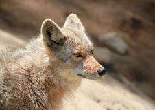 Profile of coyote Stock Photography