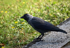 Profile of a crow Royalty Free Stock Image