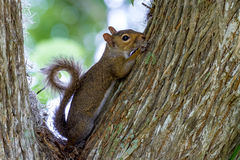 Profile of a Cute Eastern Gray Squirrel with Curled Tail in Texas. Stock Images