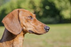 Profile of a dachshund with a green blurred background royalty free stock photo
