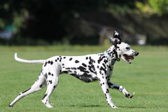 Profile of a dalmatian dog running in field Stock Photos