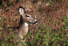Profile of a Deer in the Field Stock Photography