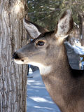 Profile of a Doe. Female mule deer in the cold snowy outdoors Royalty Free Stock Photo