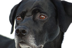 Profile of dog. A close up profile of a Black Labrador dog with brown eyes. White background stock photo
