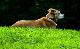 Profile of dog in Central Park Royalty Free Stock Photo
