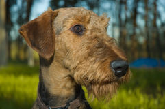 Profile dog head-shot. A brown airedale terrier profile portrait with oak trees and green grass in the background on a beautiful summer evening. The dog is stock photos