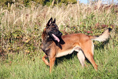 A profile dog. A profile from a malinois in front of tall grass Stock Images